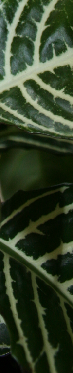 aphelandra leaves