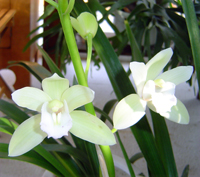 white cymbidium orchid