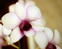 dendrobium from topala