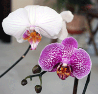 two phalaenopsis orchids