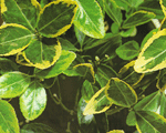 euonymus_japonicus