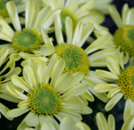 small yellow chrysanthemum