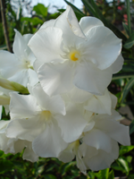 white nerium oleander from Lana