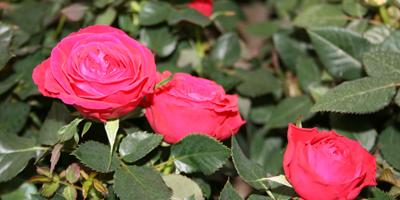 patuljaste ružice