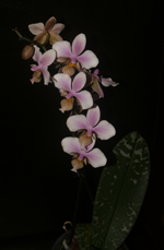 phalaneopsis orchid
