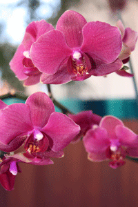 red phalaenopsis flowering