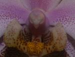 orchidaeceae phalaenopsis pinkbrown