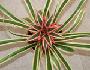 bromelije ili ananasovke