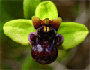 hrvatske orhideje