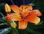 lukovicasto vrtno bilje