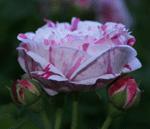 rose_bicolor
