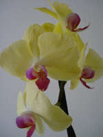 phalaenopsis from sanja