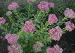 sedum spectabile lisa