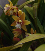 topalin cymbidium